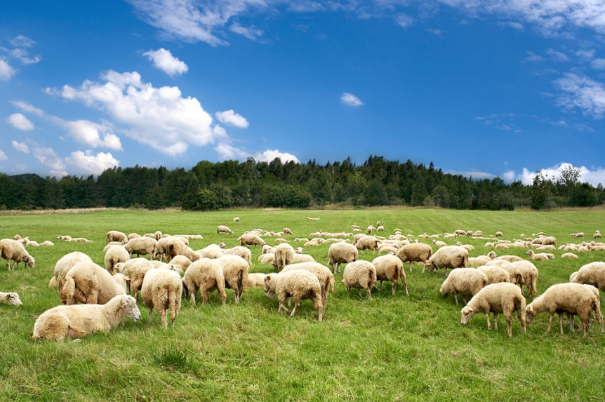 sheep industry