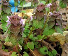 Purple Dead Nettle (Lamium purpureum)