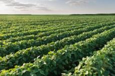 Soybean Field Rows in sunset