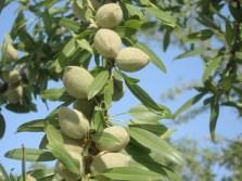 2018 Almond Forecast