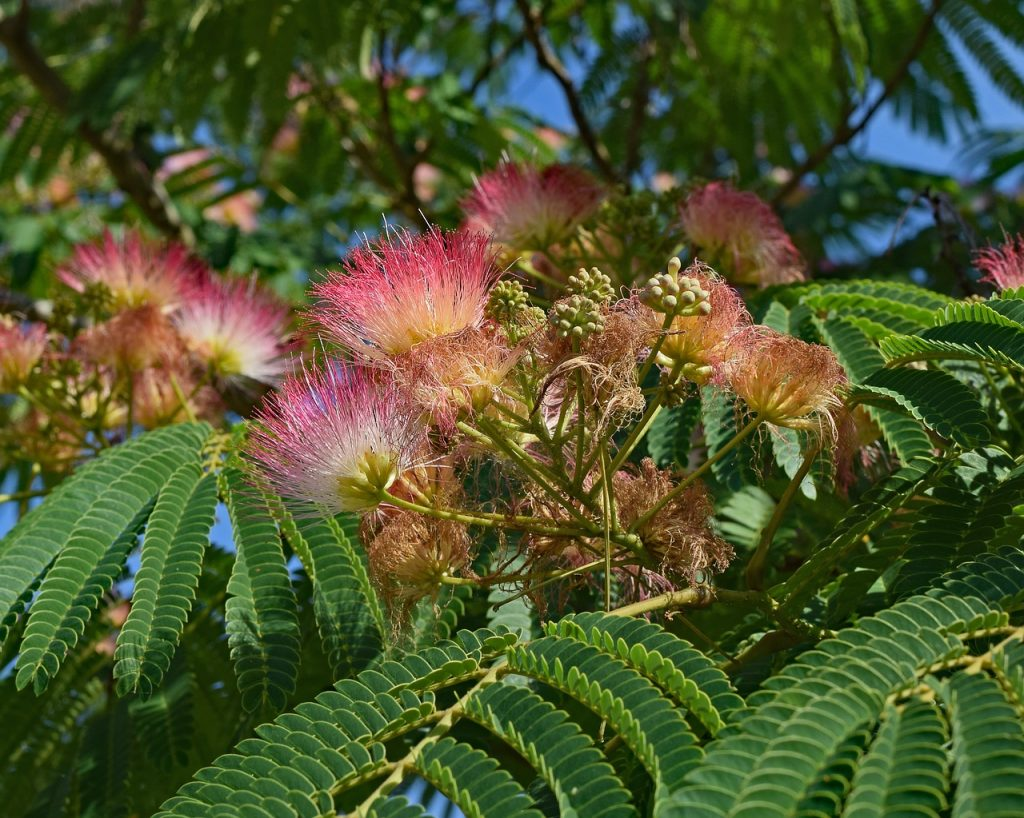 Practical Uses of the Mimosa Tree