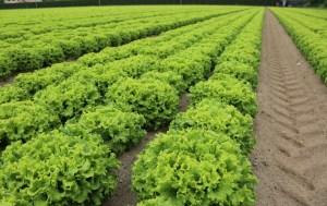 lettuce sampling