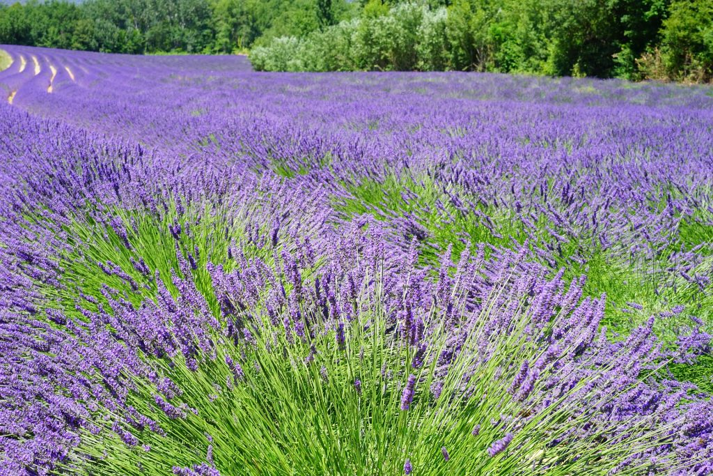 How To Care For Your Lavender Plants Agnet West