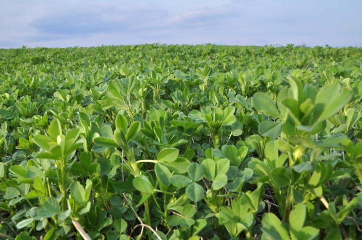 Organic Alfalfa Hay