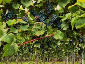 Winegrape Planting
