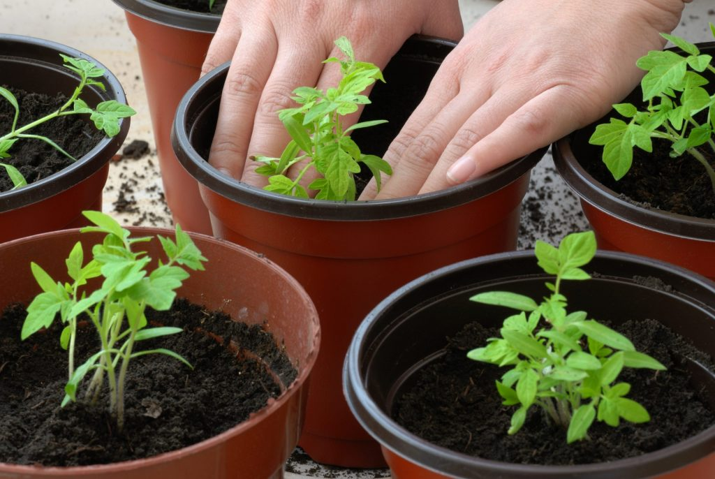 Tips For Growing Tomatoes In Containers Agnet West
