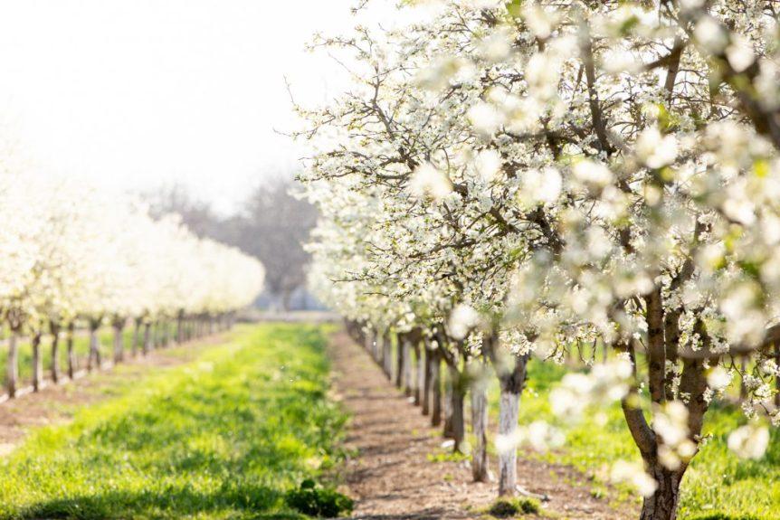 California Prune Bloom