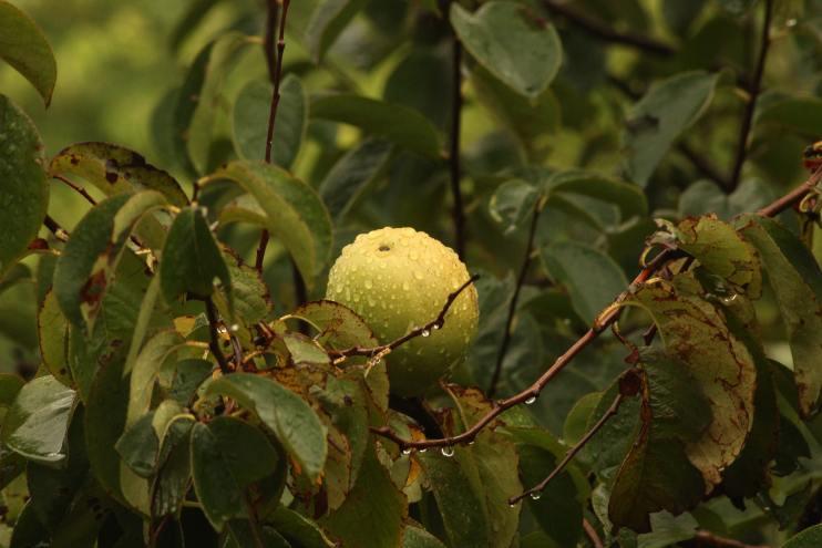 guava crop