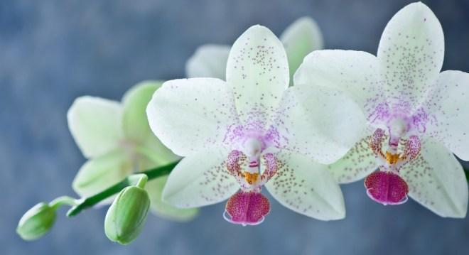 Белые Орхидеи