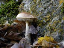 Röhrenpilze – Boletales Birkenpilz (Leccinum scabrum). Foto: Karl-Heinz Schmitz