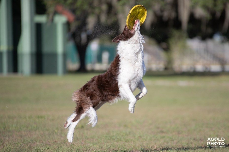 Tampa Pet Photography_Crosby_AGoldPhoto_Tampa Pet Photography_Crosby_AGoldPhoto_A74I2064