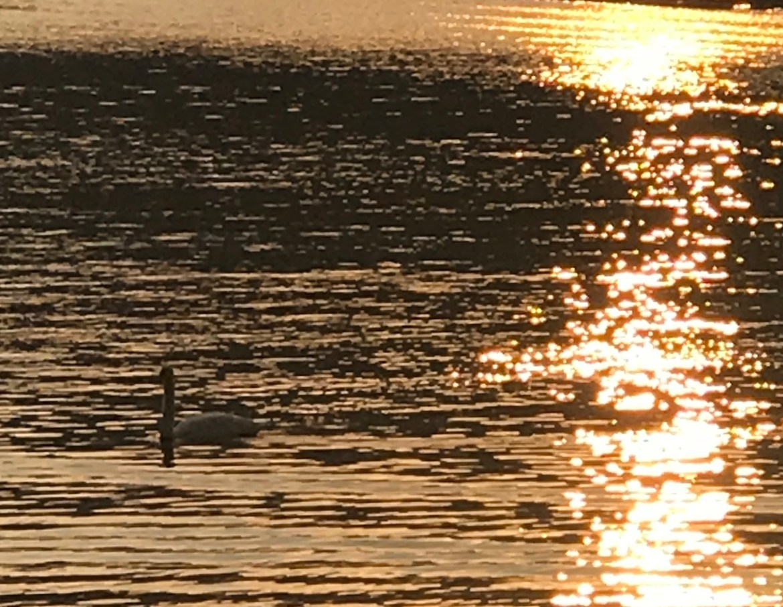 Cigno Lago dorato
