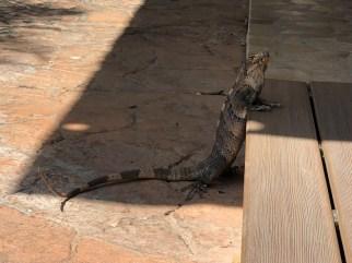 Smaller lizard