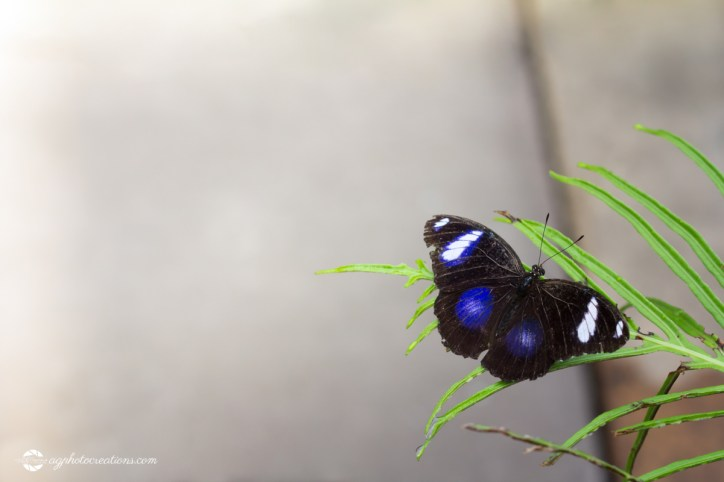 The Great Eggfly (Hypolimnas bolina), also called the Blue Moon Butterfly in New Zealand on Leaf with Wings Open Horizontal with Copy Space