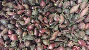 Scalogni da seme selezionati - Certaldo