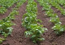 Правильный подход к выращиванию и хранению картофеля