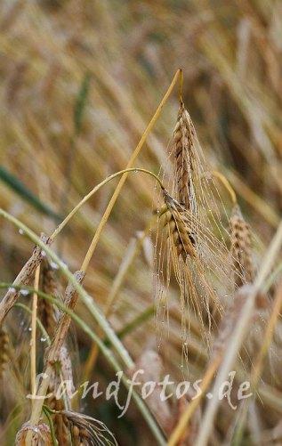 2017 ist durch die verregnete Ernte und die nasse Herbstbestellung ein sehr schwieriges Jahr für die Bauern.