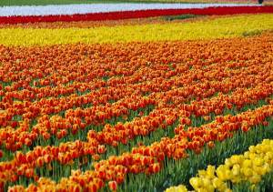 Lakhs-of-tulips21034