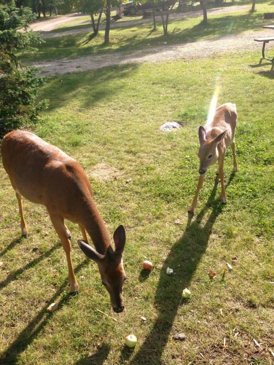 Deer in Whiteshell, MB