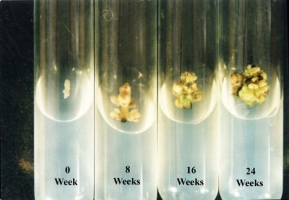 Adventitious bud formation after 24 weeks of culture