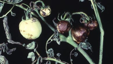 Photo of فيروس y البطاطس Potato virus