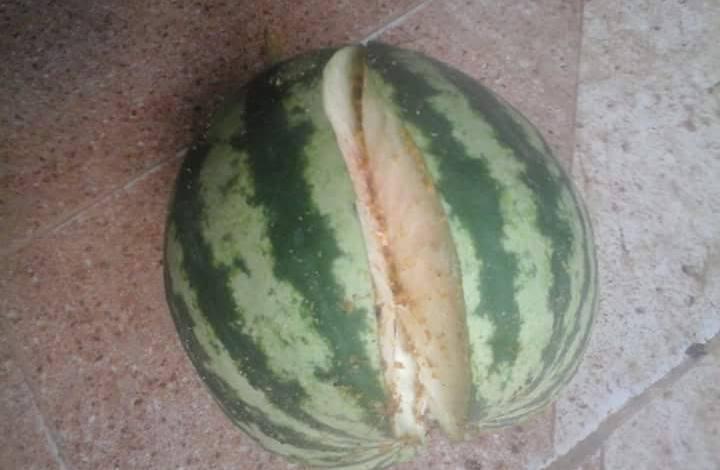 تشقق الثمار في البطيخ