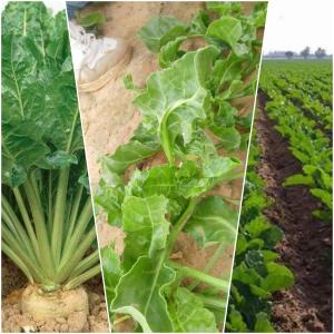 انواع التربة التي يزرع فيها البنجر
