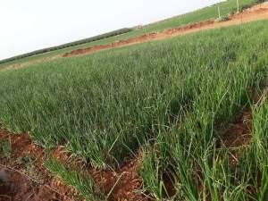 التربة المناسبة لزراعة البصل