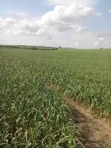 حقل ثوم بعد الإنتهاء من رش مبيدات حشرية
