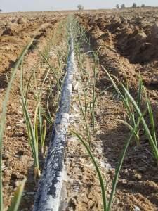 زراعة الثوم في ظروف ملحية قاسية