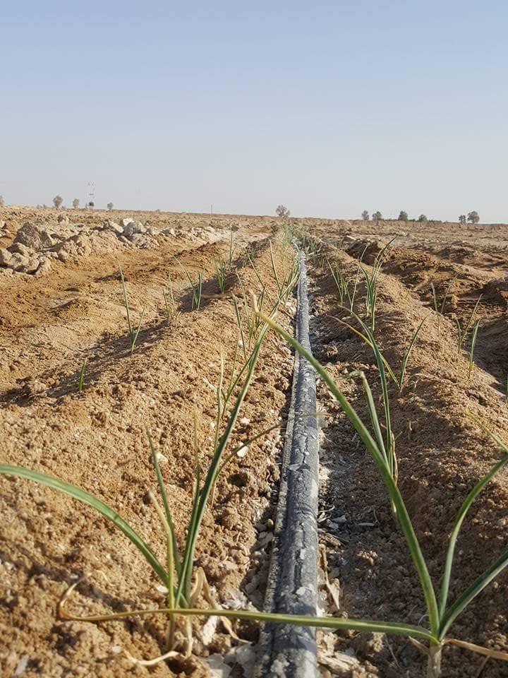 زراعة الثوم بالتنقيط فى الاراضى الصحراوية