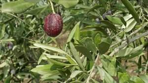 انتشار الأمراض يؤثر علي متوسط إنتاج الفدان من الزيت الجيد