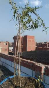زراعة الرمان فوق أسطح المنزل