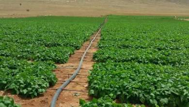 Photo of زراعة الفاصوليا فى الاراضى الصحراوية