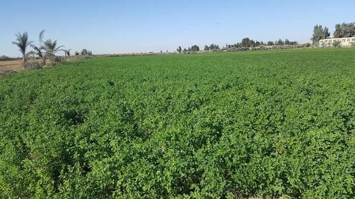 زراعة البرسيم الحجازى فى الاراضى الصحراويه
