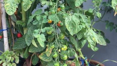 Photo of زراعة الخضروات في المنزل .. الفريضة الواجبة