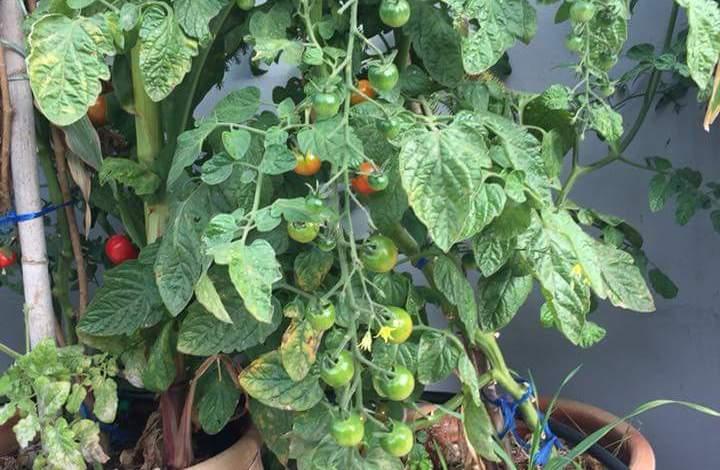 زراعة الطماطم الشيري في المنزل