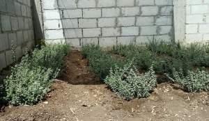 زراعة الزعتر بالبذرة في المنزل