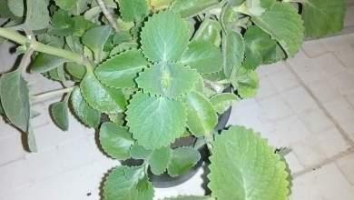 Photo of زراعة الزعتر في المنزل .. كيف ومتي ؟