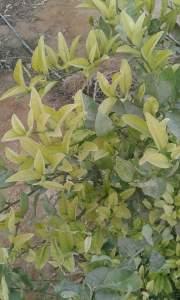 اسباب اصفرار اوراق الليمون