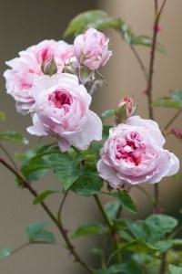 زراعة الورد في البيت