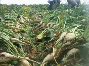 حصاد البنجر
