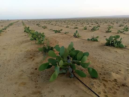 مسافات زراعة التين الشوكي .. ومعلومات أخري مهمة