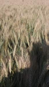 مراحل نمو نبات القمح