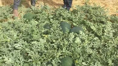 Photo of زراعة البطيخ بالتنقيط فى الاراضى الصحراوية