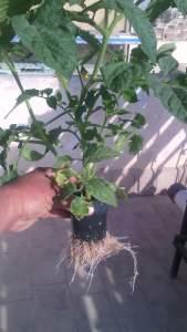 كيفية زراعة الطماطم على اسطح المنازل