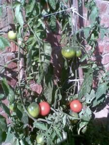 زراعة الطماطم علي السطح