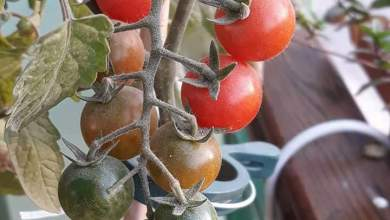 Photo of كيفية زراعة الطماطم على اسطح المنازل .. مع عمليات الرعاية والخدمة