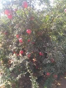 لحساب كمية انتاج شجرة الرمان يجب معرفة عمرها