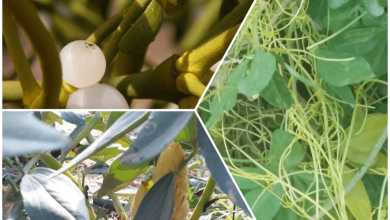 Photo of النباتات الطفيلية .. أنواعها وطرق مكافحتها